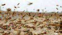 انتشار الجراد بمناطق التكاثر الصيفية يهدد المحاصيل الزراعية في اليمن